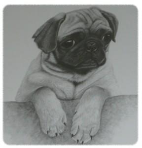Fawn Pug Drawing